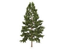 Cork_pine_ (Pinus_strobus) Royalty-vrije Stock Fotografie