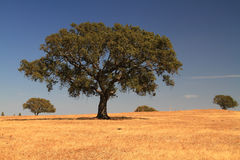Cork tree. In Alentejo plain, Portugal Stock Images