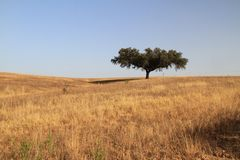 Cork tree. In Alentejo plain, Portugal royalty free stock photos