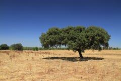 Cork tree. In Alentejo plain, Portugal royalty free stock photo