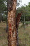 Cork tree. Being recoleztando for industry Royalty Free Stock Photo