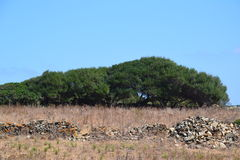 Cork tree countryside. Drywall in the countryside with tall wild dry grass and cork trees against clear blue sky Stock Photos