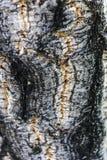 Cork tree - detail. Detail of Cork on cork tree Royalty Free Stock Photo