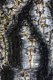Cork tree - detail. Detail of cork tree , Colchagua valley , Chile Royalty Free Stock Image