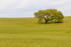 Cork tree in the field in Santiago do Cacem. Alentejo, Portugal Stock Photography