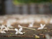 Cork Tree Flowers Fell photographie stock libre de droits