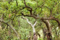 Cork tree forest Royalty Free Stock Images