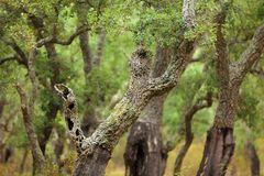 Cork tree forest. Mediterranean cork tree forest in Corsica island, France Royalty Free Stock Photo