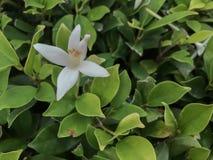 Cork Tree- oder Millingtonia-hortensis Fall auf grünen Busch der Blätter stockfotos