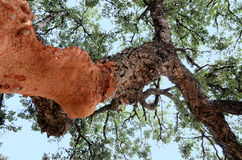 Cork  tree - quercus suber Royalty Free Stock Image