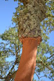 Cork tree trunk. A cork-tree trunk in Portugal, detail stock images