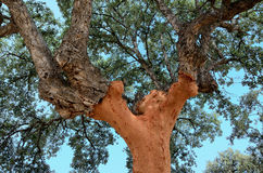 Cork  tree Royalty Free Stock Image