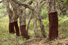 Cork trees in Andalusia, Spain Stock Photos