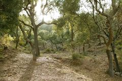 Cork trees forest in Espadan Castellon Spain Stock Photography