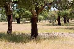 Cork trees forest Royalty Free Stock Image