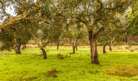 Cork Trees natural resources Landscape in Portugal. Alentejo Stock Image