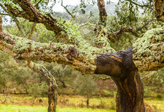 Cork Trees natural resources Landscape in Portugal. Alentejo Stock Photos