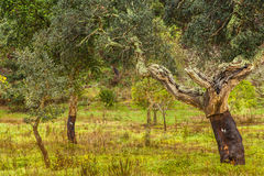 Cork Trees natural resources Landscape in Portugal. Alentejo Stock Photography