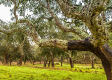 Cork Trees natural resources Landscape in Portugal. Alentejo Royalty Free Stock Photo