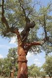 Cork trees. Quercus suber - recently stripped, Alentejo, Portugal Royalty Free Stock Photo