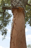 Cork trees Royalty Free Stock Image