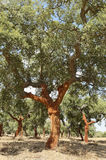 Cork trees. Quercus suber - recently stripped, Alentejo, Portugal Royalty Free Stock Photos