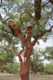 Cork trees. Quercus suber - recently stripped, Alentejo, Portugal Stock Image