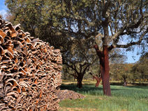 Cork trees in southern Europe Royalty Free Stock Image
