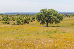 Cork trees in a yellow flores field in Vale Seco, Santiago do Ca. Cem, Alentejo, Portugal Royalty Free Stock Photos