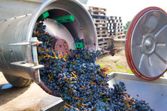 Corkscrew crusher destemmer winemaking with grapes Stock Image