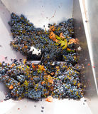 Corkscrew crusher destemmer winemaking with grapes Stock Images