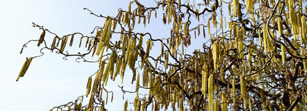 Corkscrew hazel with male catkins Royalty Free Stock Photos