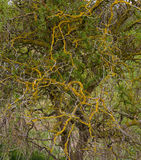 Corkscrew Twisted Willow Orange Lichens on Branches stock photography