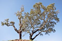 Corktrees against a blue sky Stock Photography