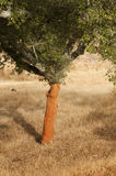A corkwood tree. Commiphora spp Royalty Free Stock Photos