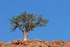 Corkwood tree, Namibia, southern Africa Royalty Free Stock Images