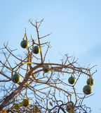 Corky Bark Monkey Orange Fruit Fotografía de archivo