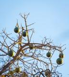 Corky Bark Monkey Orange Fruit Stock Photography