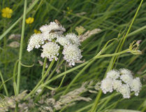 Corky-fruited Water-dropwort Royalty Free Stock Image
