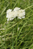 Corky-fruited Water-dropwort Royalty Free Stock Photos