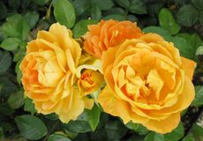 corlorful τριαντάφυλλα Στοκ φωτογραφίες με δικαίωμα ελεύθερης χρήσης