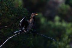 Cormarant fågel Arkivbild
