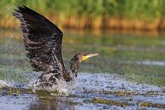 Cormorán con las alas separadas sobre el agua Fotos de archivo libres de regalías