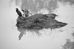 Cormorán - pájaro de agua Imagen de archivo libre de regalías