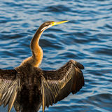 Cormorán que se calienta en el río del cisne Fotos de archivo libres de regalías