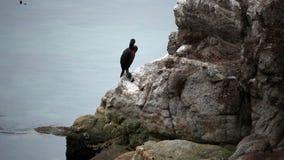 Cormorán que se sienta en la roca que mira alrededor de Monterey California almacen de metraje de vídeo