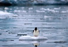 Cormorán reflexivo - la Antártida Foto de archivo