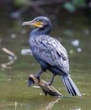 Cormorão, único pássaro empoleirado no ramo Imagens de Stock