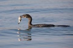 Cormorão de Reed que flutua na água quando peixes da andorinha Fotografia de Stock