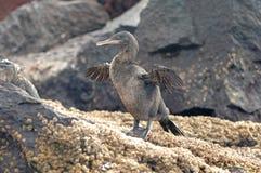 Cormorão Flightless, Galápagos Foto de Stock